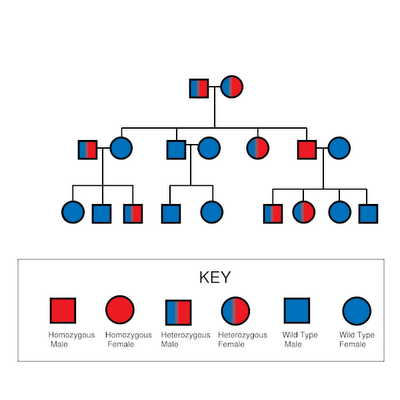 Pedigree chart and Punnett square - Sickle Cell Anemia